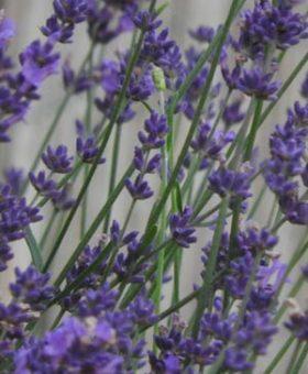 Lavendel aus eigenem Anbau