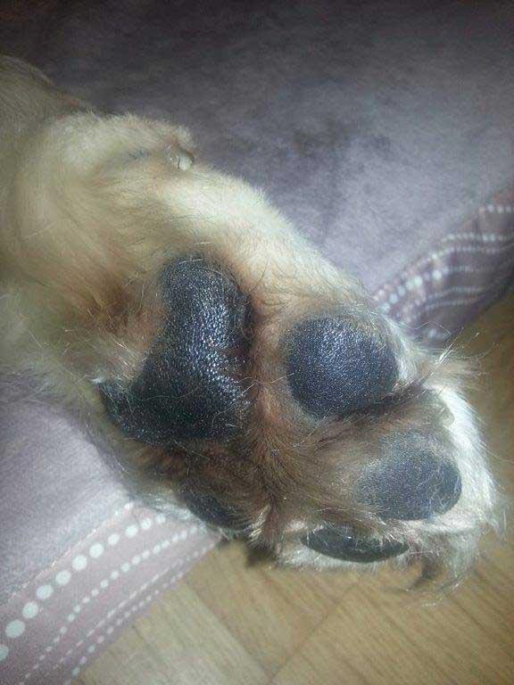 Hundepfote mit Schwarzapfel Kräuteröl behandelt